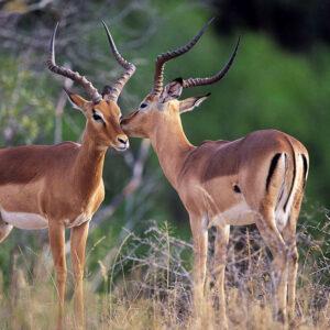 Impalas at the Madikwe Nature Reserve