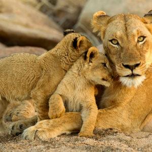 Lion Safari Park Tour